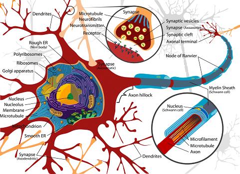 neuroplasticité heureux