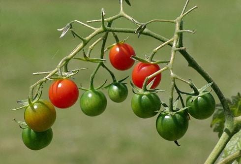 tomates régime
